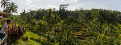 Ceking Rice Terrace (Corey Hamilton) Tags: travel bali rice