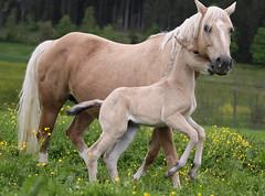 Affection (winkler.roger) Tags: horse animal filly foal americanquarterhorse domesticanimal