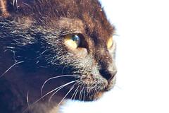 IMG_3445 (BalthasarLeopold) Tags: pet cats pets animal animals closeup cat blackcat mammal kitten feline dof kittens felines blackcats indoorcat dephtoffield