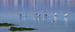 Flamingos (Manu(She)) Tags: peregrino27life