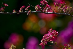 Double Bougainvillea in shades of magenta (BigMs.Take) Tags: pink orange black green nature colors yellow gardens vines nikon dof bokeh magenta d300 seasonalflora doublebougailvillea springfloweringplantsofbangladesh