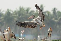 High-Five (....Nishant Shah....) Tags: nature birds wildlife pelican 300mmf28 spotbilledpelican pelecanusphilippensis tc17 nikond90 kolleru kollerulake