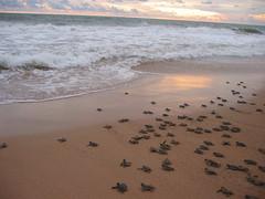 Turtles (Michael from Mountains) Tags: sea freedom turtle release joy rush srilanka sanctuary headlong kosgoda