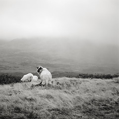 sheep in the mist (manyfires) Tags: ireland blackandwhite bw film animal mediumformat outdoors sheep hiking eire hasselblad wooly countykerry ewe hasselblad500cm ovine carrauntoohil thelittledoglaughed animalscape