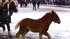 Pferdemarkt Leonberg, Fohlen im Winter ,  37-33 (roba66) Tags: schnee winter horse snow caballo cheval kutsche pferd leonberg trabalho chevaux gespann fohlen galope pferdemarkt roba66 dhiver pferdemarktleonberg