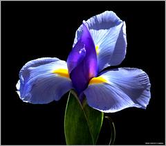 Iris (West County Camera) Tags: wow1 wow2 wow3 wow4 wow5 mygearandme mygearandmepremium mygearandmebronze mygearandmesilver mygearandmegold