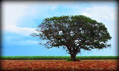 Sobrevivente (pmenge) Tags: céu nuvens árvore 70200 canavial tc14 duetos 5dii nanaturezainnature