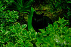Jinx ! (Rany Nasser) Tags: black green cat nikon nikkor f28 lightroom 1755 d7k d7000 sb700 mygearandme