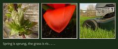 . . . . I wonder where the birdies is? (John Pretty) Tags: grass spring triptych clematis tulip mower hayter