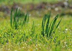 Sparkling Gras (Tinina67) Tags: sun plant flower green sparkles garden droplets bokeh drop dew tina gras challenge sparkling odc narzisse tinina67