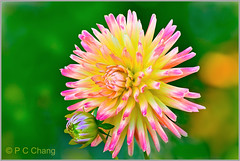 Adoring...... (P C Chang) Tags: pink dahlia flower green yellow garden star blossom bloom lime burst dalia thegalaxy excellentsflowers natureselegantshots pcchang mygearandme dblringexcellence tplringexcellence flickrstruereflection1 eltringexcellence tanjoh tanjohdahlia