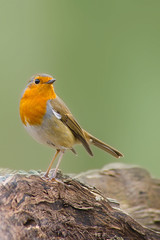 Rouge-gorge, Robin (Zed The Dragon) Tags: wild bird robin speed jaune french geotagged rouge effects photography iso800 photo flickr tits minolta photos bokeh sony main vert full f45 frame gorge fullframe alpha antony animaux parc postproduction franais greattit sal zed oiseaux 2012 francais rougegorge sceaux lightroom effets msange 200mm parcdesceaux 24x36 a850 sonyalpha hpexif 001sec parcsceaux dslra850 alpha850 zedthedragon minoltaapo80200hs charbonnire mosaique2012a