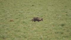 Coyote in a wind storm (Orkakorak) Tags: coyote winter pittmeadows okpg