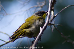 Yellow-throated Honeyeater (SillyOldBugger (in and out of internet range)) Tags: wild bird australian australia aves honeyeater tasmania handheld avian melaleuca wildbird southwestnationalpark lichenostomusflavicollis yellowthroatedhoneyeater minolta3004hsg wildbirdaustralia minolta300f4hsglens sony14apoteleconverter a55birdingrig