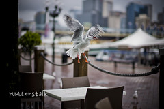 L1122394 (H.M.Lentalk) Tags: leica bird 50mm seagull m noctilux asph f095