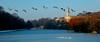 The gulls huddle; the geese fly (blinkingidiot) Tags: nottingham lake canada frozen geese gulls nottinghamshire trentbuilding universityofnottingham nottinghamuniversity highfieldpark mygearandme mygearandmepremium flickrstruereflection1 rememberthatmomentlevel3