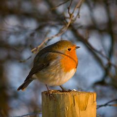 Puffed up (peckhamryecrow) Tags: uk winter england snow nature robin birds kent erithacusrubecula crop sevenoakswildlifereserve timgreen kentwildlifetrust peckhamryecrow