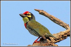 2086 coppersmith barbet (chandrasekaran a 560k + views .Thanks to visits) Tags: india nature birds canon chennai coppersmith adyar barbet thegalaxy theosophicalsociety blinkagain powershotsx40 allofnatureswildlifelevel1 chandrasekarana