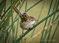 Little Grassbird (Barbiejay2) Tags: bird wetlands southaustralia australianbird nativebird grassbird laratinga mtbarker barbleopold abcopen:project=upclose