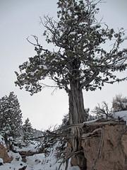 Tree Hanging On (Bob Palin) Tags: winter 15fav usa snow utah waynecounty club100 100vistas instantfave nopin orig:file=20120214elph310hs0658600