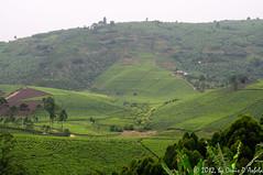 Ankole Tea Plantations (Crested Aperture Photography) Tags: green tea western uganda ug equator plantations ankole