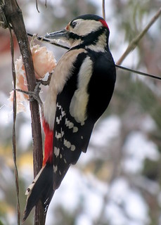 nagy fakopáncs / Great Spotted Woodpecker