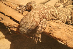 Mexican Beaded Lizard (Castles, Capes & Clones) Tags: california losangeles griffithpark lazoo losangeleszoo mexicanbeadedlizard losangeleszooandbotanicalgardens