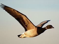 Flying Brant (hpaich) Tags: desktop wild wallpaper bird fly background wildlife flight wing feather avian desktopwallpaper brant desktopbackground birdperfect