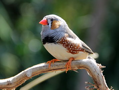I'd Like To Teach The World To Sing (johnshlau) Tags: canada nature birds vancouver singing queenelizabethpark zebrafinch bloedelconservatory tropicalbirds