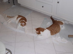 team work (corsi photo) Tags: cats pets animals kitty kitties felines toiletpaper badkitties