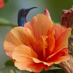 Peek-a-boo (Tarique Sani) Tags: hibiscus nagpur purplesunbird cinnyrisasiaticus nagpurbirds