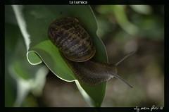 lumachina (anakin6905) Tags: flowers macro primavera foglie canon spring natura 100mm piemonte lumaca