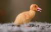 صغير البط (Faris shehri) Tags: duck بطة taif فرخ الطائف البط