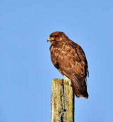 Buzzard (Alan.Edmondson) Tags: uk nature birds nikon wildlife ngc devon perch dartmoor burrator nbw d7000 peregrino27life