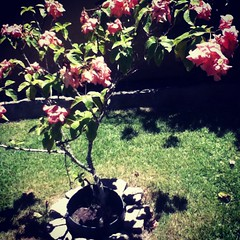 (alltimejulia) Tags: pink flores flower fleur rose paradise rosa awn