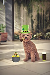 are you ready for st patrick's week? (girl enchanted) Tags: red green beer hat puppy toy poodle pup clover pinocchio stpatricksday tooearly leprechaun toypoodle potofgold poodlepuppy redpoodle