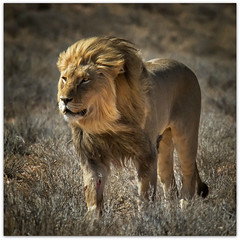 After the hunt (Ania.Photography) Tags: africa travel nature animals cat nationalpark power desert wildlife lion predator wound kalahari hunt fearless kgalagaditransfrontier