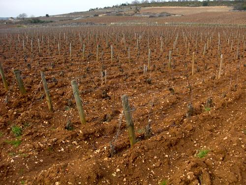 montrachet vines