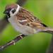 Tree Sparrow Notts WT (cpt Vanda Malvig)