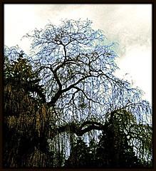 Azure Tree (Marcia Portess-Thanks for a million+ views.) Tags: trees arboles digitalart computerart stanleypark hdr lostlagoon vancouverbccanada picnikeffects azuretree marciaportess