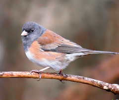 Dark-eyed Junco (TOTORORO.RORO) Tags: park canada reflection bird nature lens mirror reflex bc britishcolumbia sony richmond translucent marsh alpha 500mm f8 slt darkeyedjunco juncohyemalis mirrorlens greatervancouver a55 sal500f80