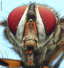 Mosca Focus Stacking (Maxwel Rocha) Tags: brazil macro nature animal closeup brasil canon bug insect fly flickr natureza inseto animais mosca macrophotography sx20 macrofotografia mpe 65mm helicon mpe65mm focusstacking eos600d maxwelrocha elitebugs