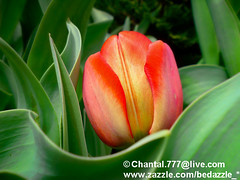 Young Red Tulip with Green Leaves ~ Close Up of Flower Bloom in a Spring Tulip Bed (Chantal PhotoPix) Tags: flowers summer greenleaves flower macro nature floral beautiful gardens closeup garden season outdoors daylight petals spring flora colorful soft pretty vibrant seasonal young petal tulip bloom dreamy pollen blooms botany luminous springflowers redflower redflowers redtulips flowerpetals flowergarden springflower flowergardens ottawatulipfestival summerflowers redtulip flowerpetal tulipbed redblooms floraphotography redbloom