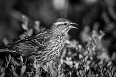 chicago bird closeup female blackwhite spring millenniumpark redwingedblackbird chicagoist