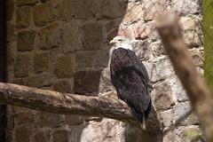 Was zum Geier? (grindcrank) Tags: zoo vulture eberswalde