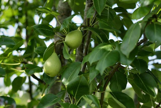 little pears