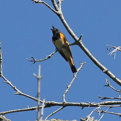 redstart-m-IMG_6266-crop (mandovinnie) Tags: