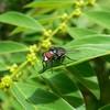 """Mosca-varejeira"" (Claudia_Orlanda) Tags: insect inseto mosca varejeira moscavarejeira"