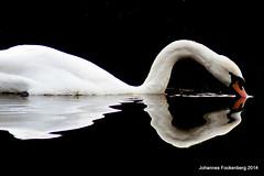 gespiegelter Schwan (grafenhans) Tags: tiere sony 55 schwan slt vogel heidesee grafenwald slt55