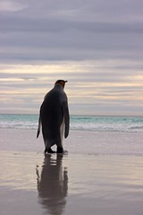 Sea Gazer (Thom Gibbs) Tags: portrait canon eos penguin islands penguins king wildlife thom malvinas falklands islas gibbs falklandislands t3i falkland islasmalvinas 600d kissx5 thomgibbs